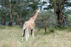 African giraffe in the meadows of the savannah royalty free stock photos