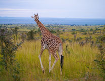 African Giraffe Royalty Free Stock Images