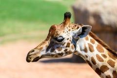 African Giraffe Portrait Stock Image