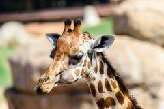 African Giraffe Portrait Stock Photography