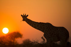 African giraffe in red Royalty Free Stock Photos