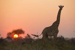 African giraffe in red Stock Photos