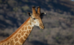 African Giraffe Stock Photography