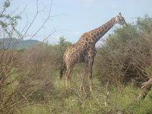African Giraffe in South African game farm Royalty Free Stock Photo