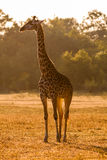 An African giraffe at sunset Royalty Free Stock Photography