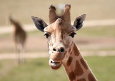 African giraffe up close Stock Images