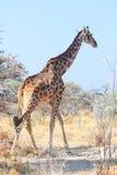 African giraffe walking through trees. African giraffe walking in trees in Namibia Africa stock image