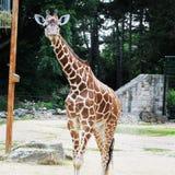 African giraffe walking in the zoo of Erfurt city. Royalty Free Stock Photos