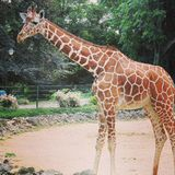 African giraffe walking in the zoo of Erfurt city. Royalty Free Stock Photo