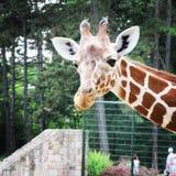 African giraffe walking in the zoo of Erfurt city. Stock Images