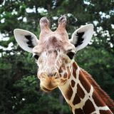 African giraffe walking in the zoo of Erfurt city. Stock Photography