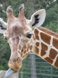 African giraffe walking in the zoo of Erfurt city. African giraffe walking in the zoo of Erfurt Stock Photography