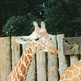 African giraffe walking in the zoo of Erfurt city. Royalty Free Stock Image