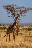 African Giraffe walks. Photo taken during the safari in Serengeti national park. Tanzania stock image