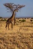 African Giraffe walks. Photo taken during the safari in Serengeti national park. Tanzania royalty free stock photo
