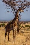 African Giraffe walks. Photo taken during the safari in Serengeti national park. Tanzania royalty free stock image