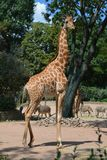 African giraffe in the zoo of Dresden Germany. A lonely African giraffe in an aviary in the zoo of Dresden Germany stock photos