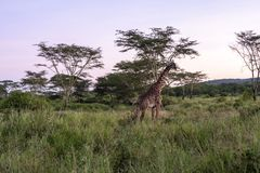 African Giraffee. Giraffes in the Wild giraffes wildlife animals together affections in their grassland habit wilderness reserve terrain. Tanzania Africa Royalty Free Stock Photo