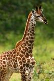 African Giraffes Royalty Free Stock Image