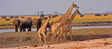 African giraffes. Stock Images