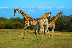 African giraffes Royalty Free Stock Photos