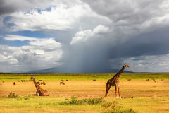 African giraffes on the background of a stormy sky. Africa. Tanzania Royalty Free Stock Photos