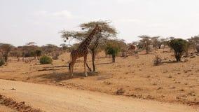 Giraffes Standing Near The Acacia Tree In The Arid Reserve Samburu stock video