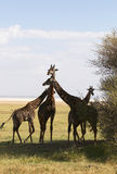 African giraffes family Royalty Free Stock Images