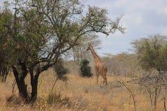 African giraffes graze in the savannah. Wildlife Africa. stock image