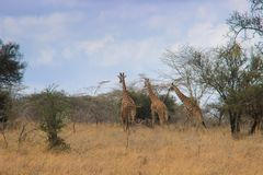 African giraffes graze in the savannah. Wildlife Africa royalty free stock photo