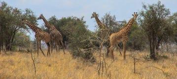 African giraffes graze in the savannah. Wildlife Africa. royalty free stock photo