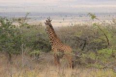 African giraffes graze in the savannah. Wildlife Africa. royalty free stock photography