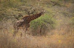 African giraffes graze in the savannah. Wildlife Africa. stock images
