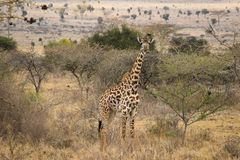 African giraffes graze in the savannah. Wildlife Africa. stock photos