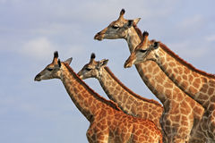 African giraffes Stock Images