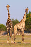 African Giraffes Stock Photos