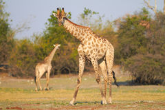 African Giraffes Stock Image