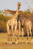 African Giraffes. A pair of giraffes standing on the banks of the Chobe river in Botswana on a sunny summer day Stock Photography