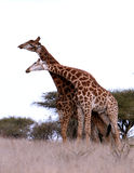 African Giraffes play Stock Photography