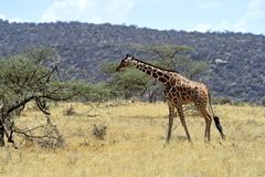 African Giraffes royalty free stock photo