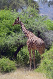 African Giraffes stock photo