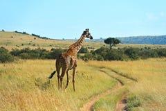 African Giraffes in the savannah Royalty Free Stock Photo