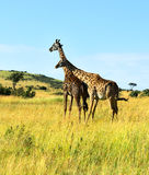 African Giraffes in the savannah Stock Photos