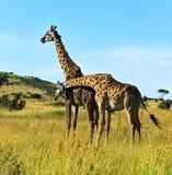 African Giraffes in the savannah Royalty Free Stock Image
