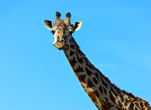 African Giraffes in the savannah Royalty Free Stock Images