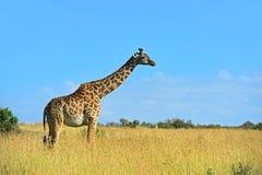 African Giraffes in the savannah Stock Photo