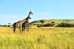 African Giraffes in the savannah Royalty Free Stock Photos