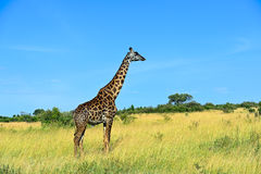 African Giraffes in the savannah Stock Images