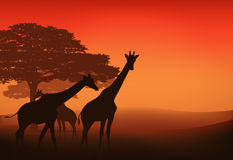 African giraffes vector. Giraffes walking in african savannah at sunset - evening landscape Stock Photo