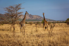 African Giraffes walks Stock Image